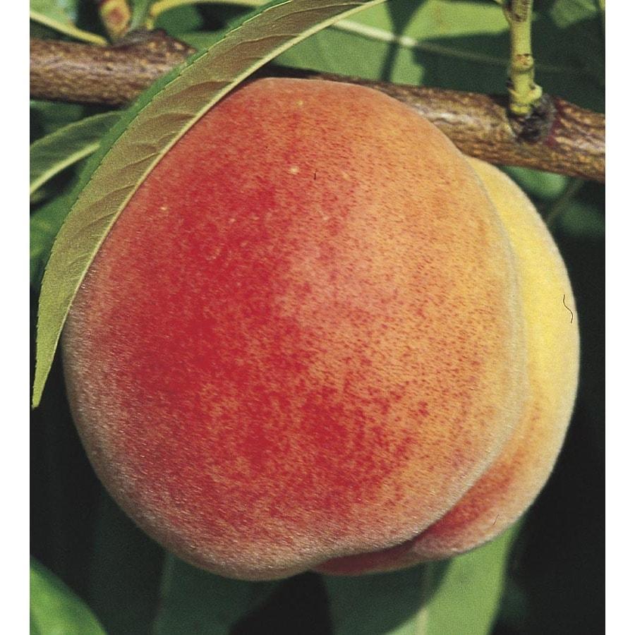 3.4-Gallon Peach Tree (LW01268)