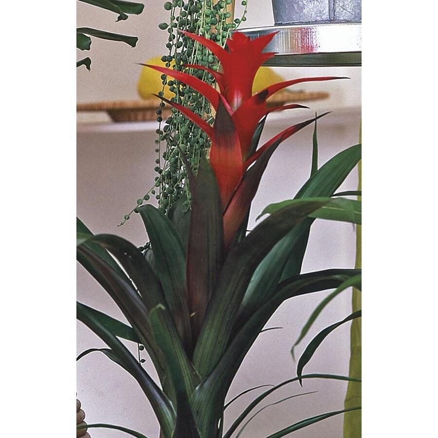 1-Pint Bromeliads (L20921hp)