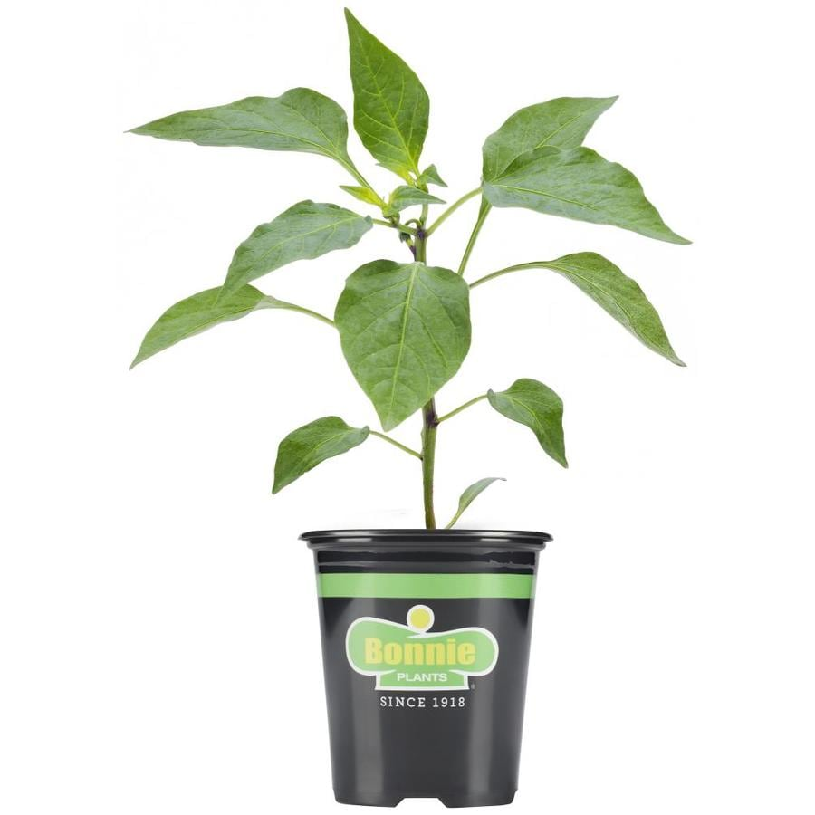 Bonnie Plants 19.3-oz in Pot Peppers Yellow Bell Plant in the Vegetable Plants department at Lowes.com