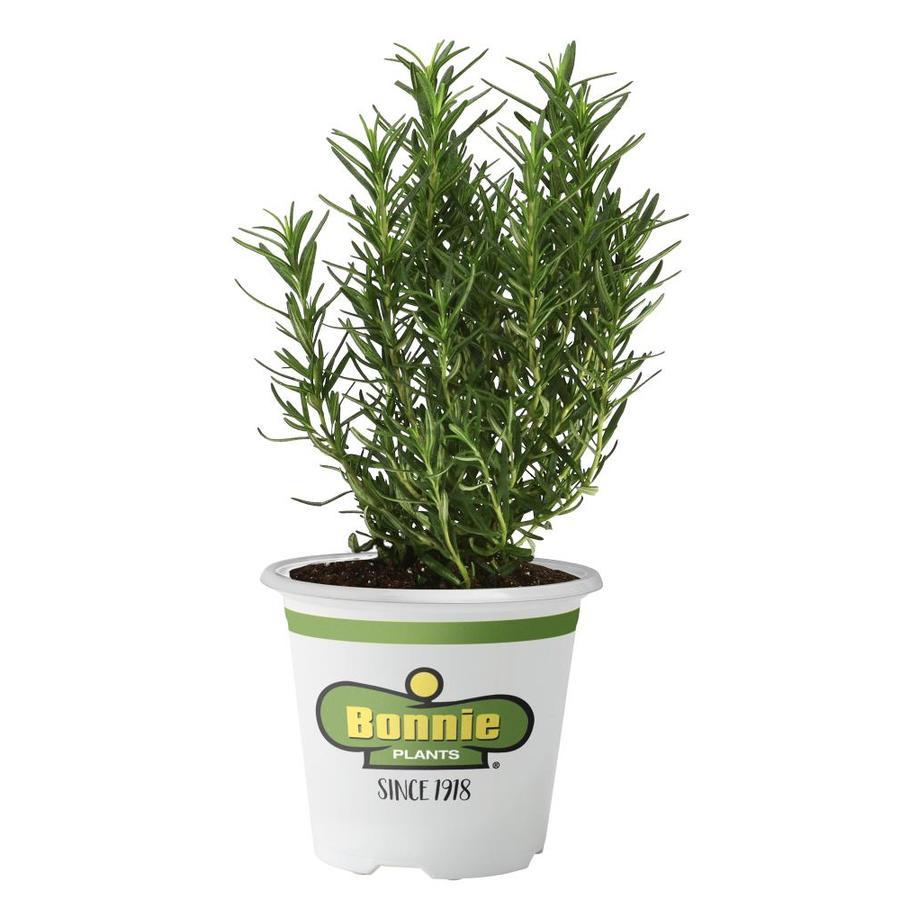 Bonnie Tomato Plant