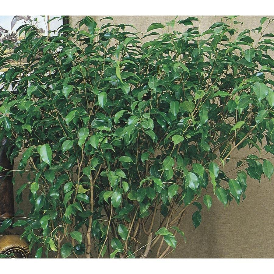 1.75-Gallon Monique Ficus (LW00482hp)