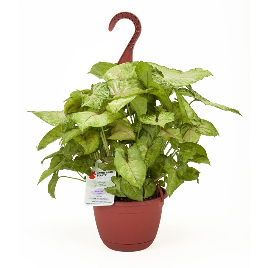 Exotic Angel Plants 1.37-Quart Nephthytis Hanging Basket (L9405HP)
