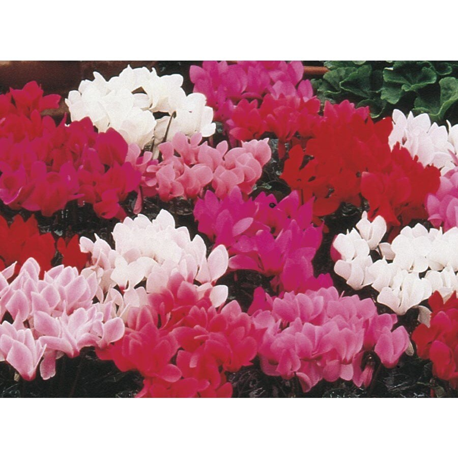 1.5-Gallon Cyclamen (L9396)