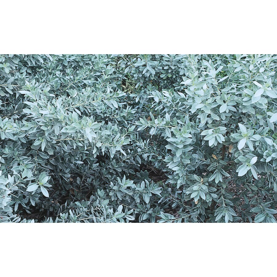 2-Gallon Silver Buttonwood Accent Shrub (L6757)