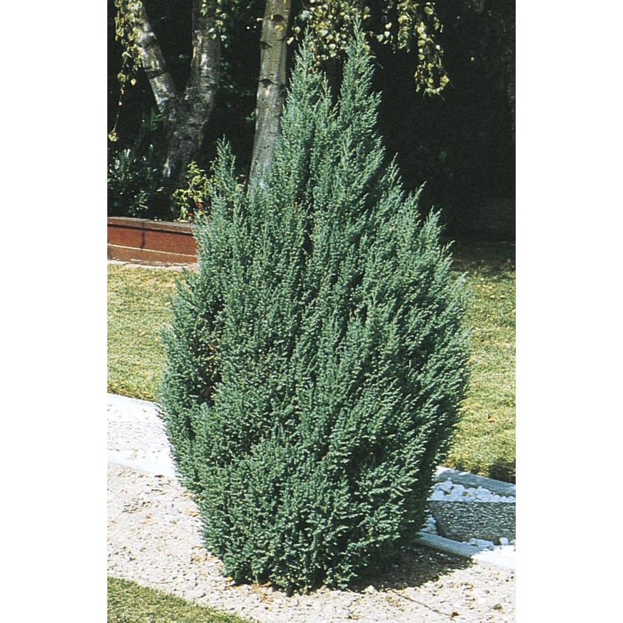Shop 2 gallon blue point juniper feature shrub l3785 at lowes com