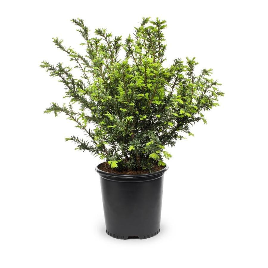 Shop 2 gallon podocarpus screening tree l8348 at lowes com