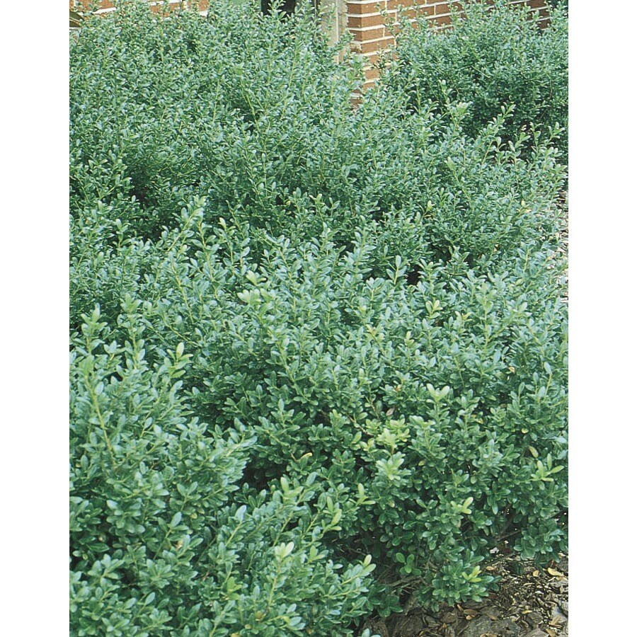 2-Gallon Compact Japanese Holly Foundation/Hedge Shrub (L5284)