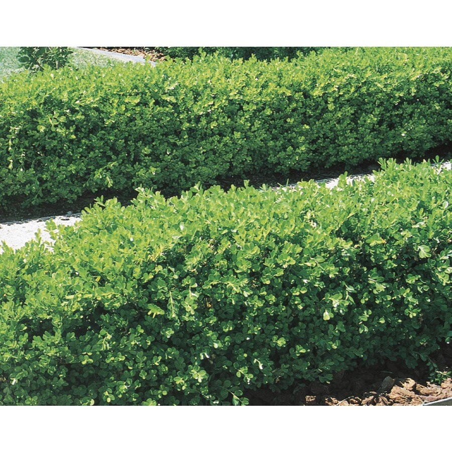 2-Gallon Japanese Boxwood Foundation/Hedge Shrub (L5873)