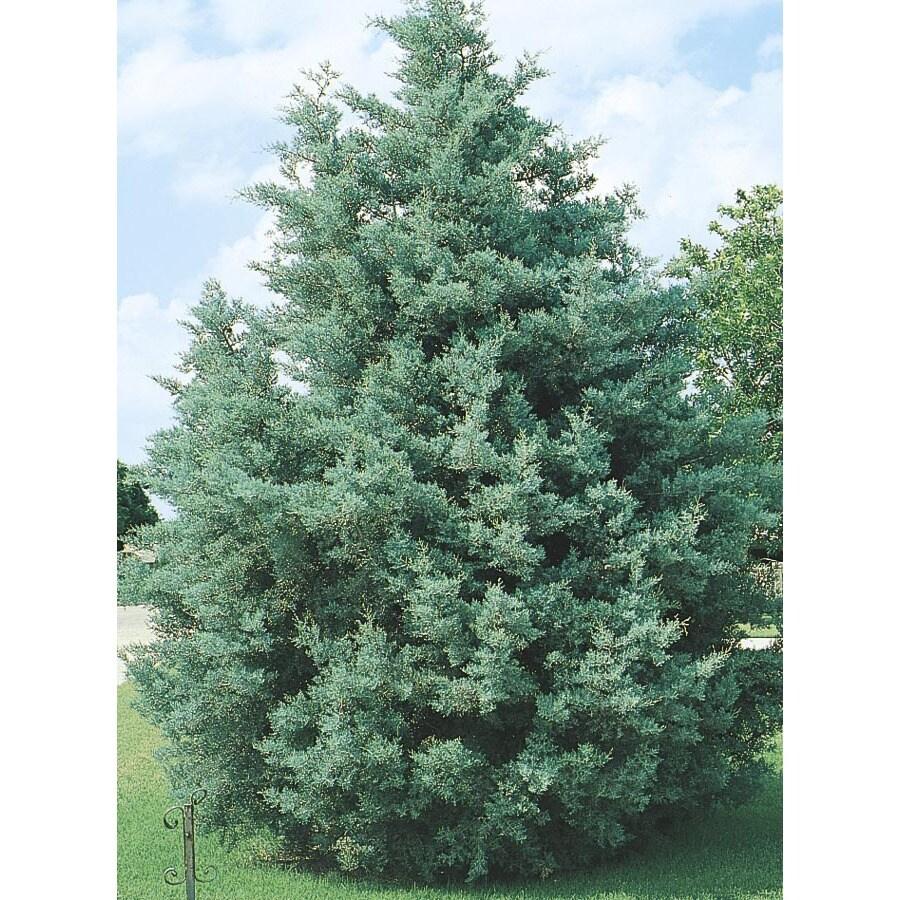 2-Gallon Arizona Cypress Screening Tree (L5089)