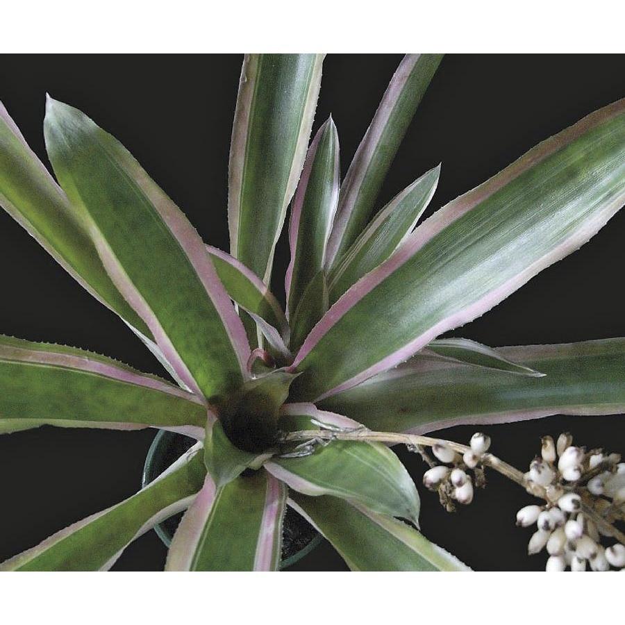 3.22-Quart Mend Bromeliad (L25738)