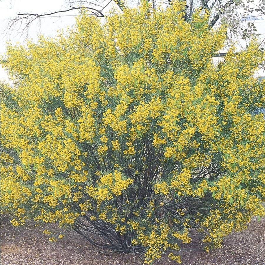 2-Gallon Yellow Desert Cassia Accent Shrub (L10717)