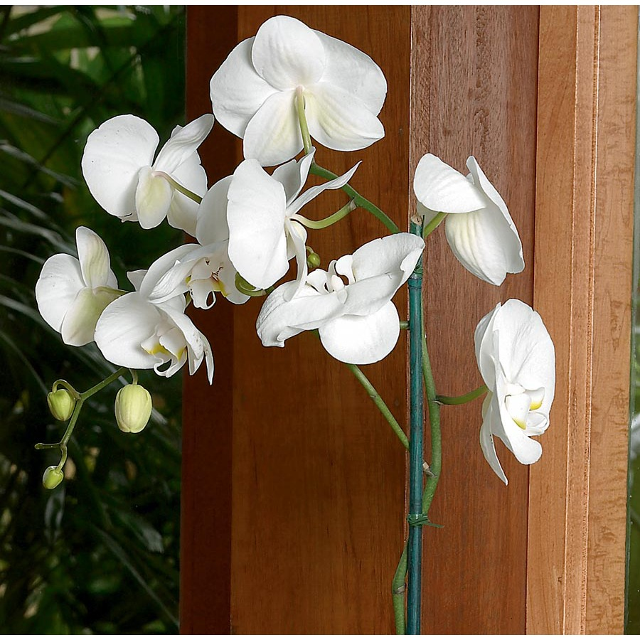 2-Gallon Phalaenopsis Orchid (L20963hp)