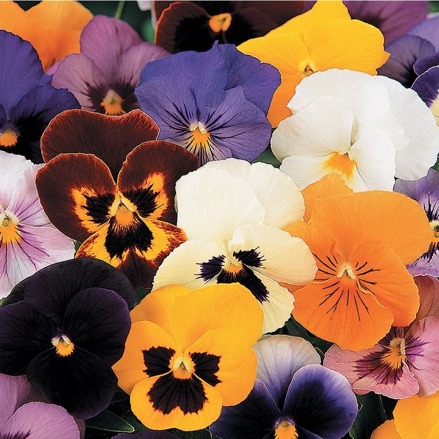 6-Pack Temporary Pansy (L5048)