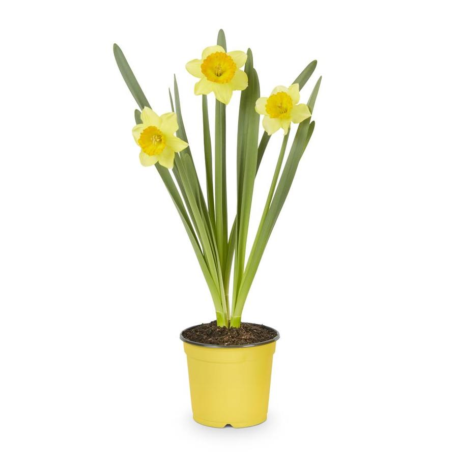 1-Pint Daffodil Bulbs