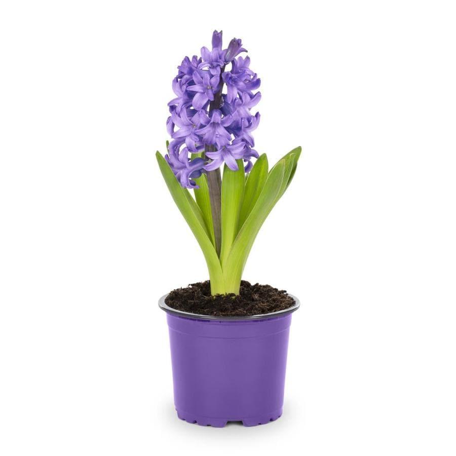 1-Pint Hyacinth Bulbs