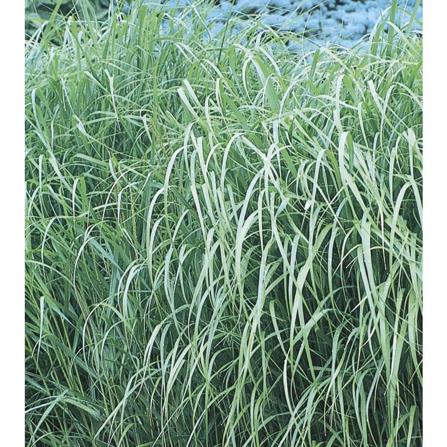 2.25-Gallon Switch Grass (L8329)
