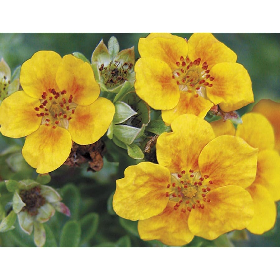 1.6-Gallon Bicolor Mango Tango Potentilla Flowering Shrub (LW02907)