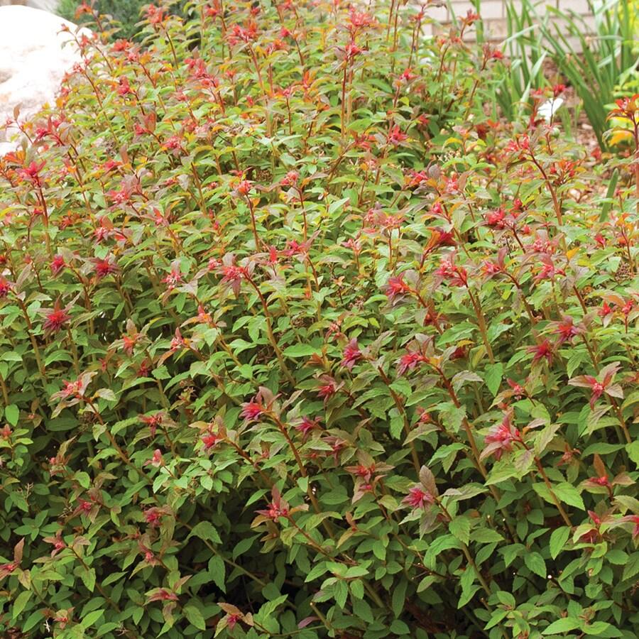 1.6-Gallon Mixed Spirea Flowering Shrub