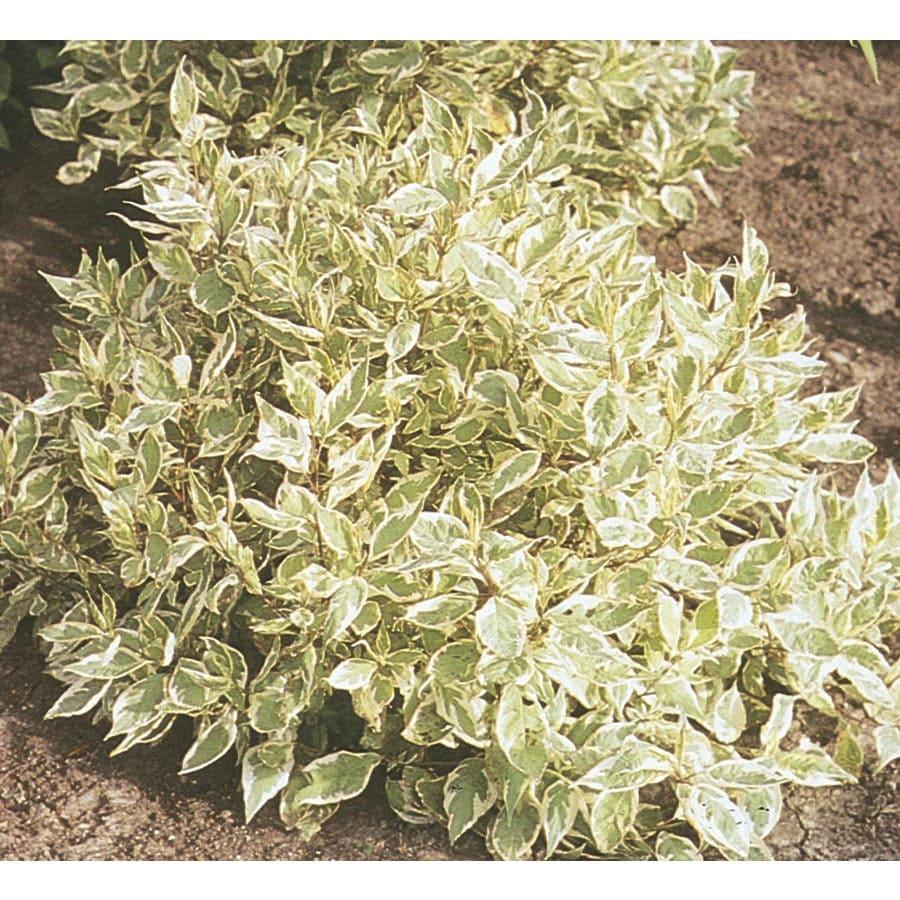 2.5-Gallon White Ivory Halo Dogwood Flowering Shrub (L9847)
