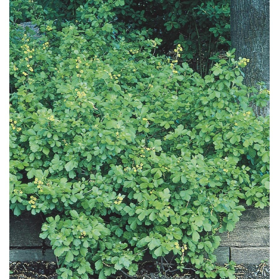 2.5-Gallon Yellow Gro-Low Fragrant Sumac Accent Shrub (L14475)