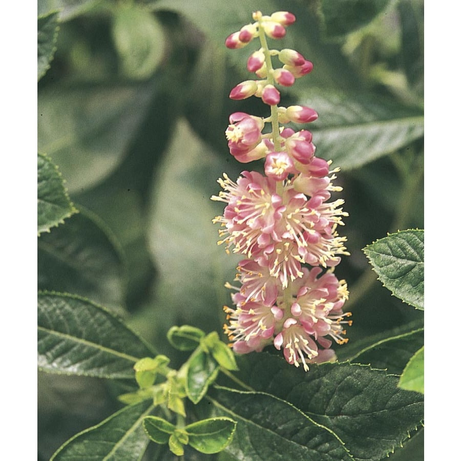 1.6-Gallon Pink Ruby Spice Summersweet Flowering Shrub (L9841)