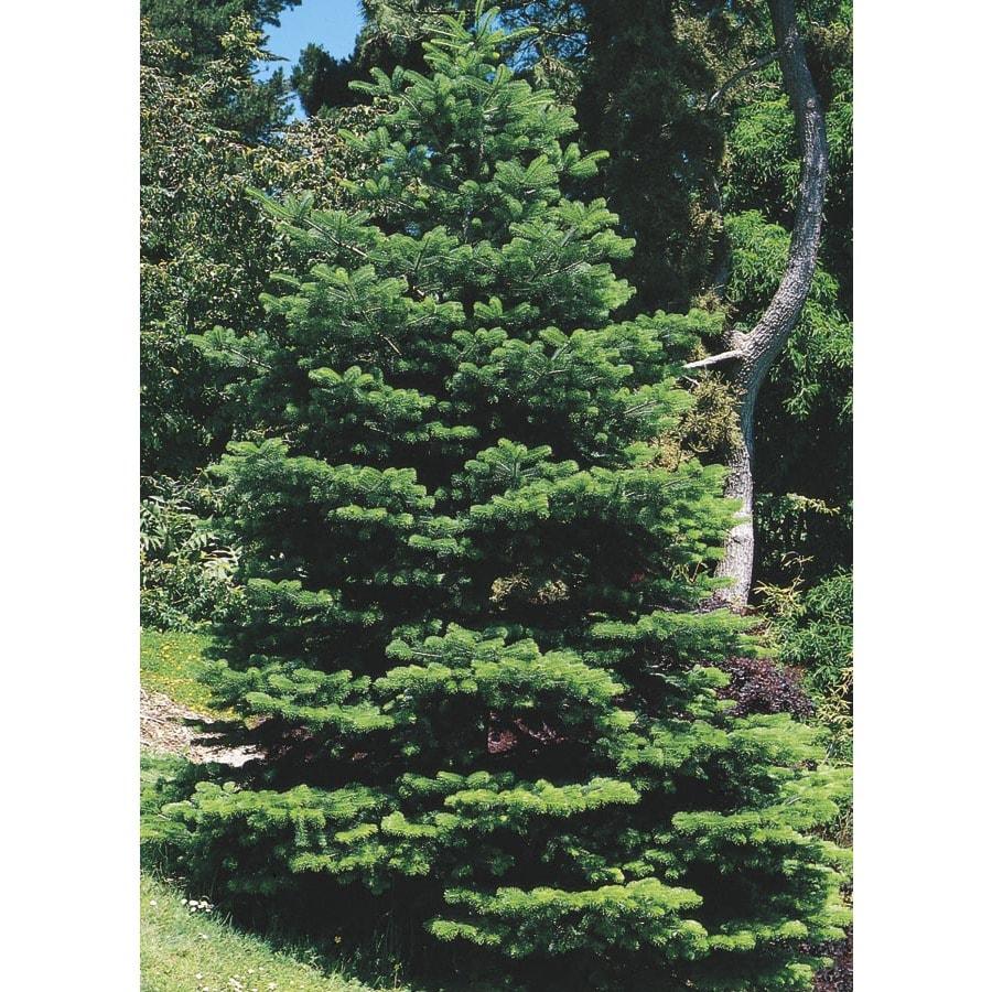 10-Gallon Fraser Fir Feature Tree (L4162)