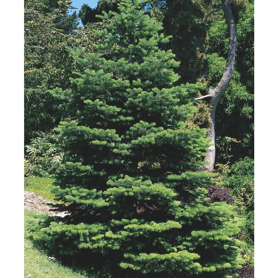 2.5-in Fraser Fir Feature Tree (L4162)