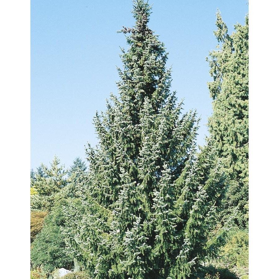 2.5-in Serbian Spruce Feature Tree (L8655)
