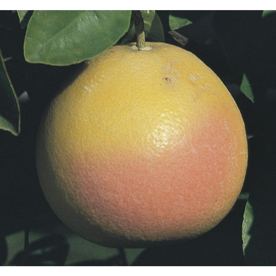 3.5-Gallon Grapefruit Tree (L4432)