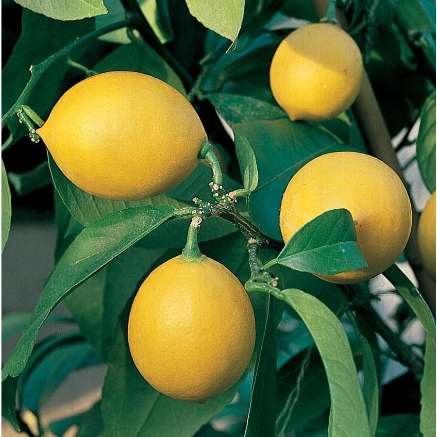 3.58-Gallon Semi-Dwarf Lemon Tree (L9116)