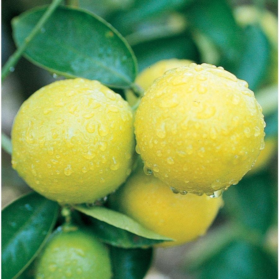 3.58-Gallon Sweet Semi-Dwarf Lime Tree (Lw00084)