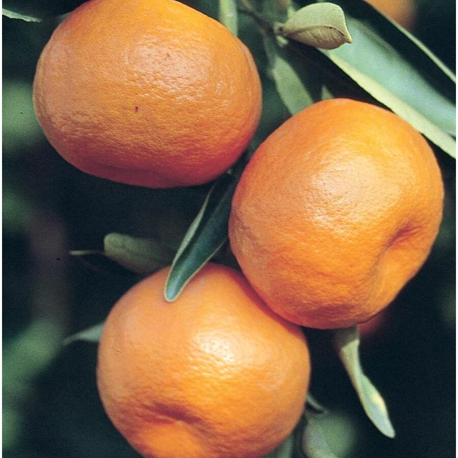 3.58-Gallon Semi-Dwarf Mandarin Tree (L6103)