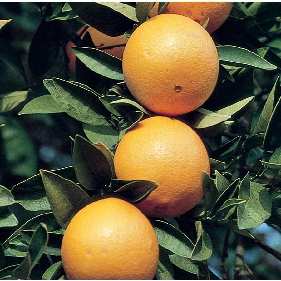 3.58-Gallon Semi-Dwarf Navel Orange Tree (L6110)