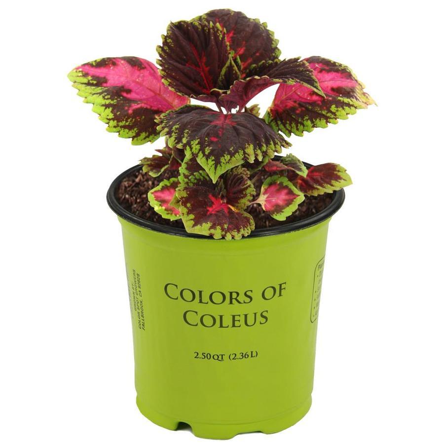 Coleus In Pots
