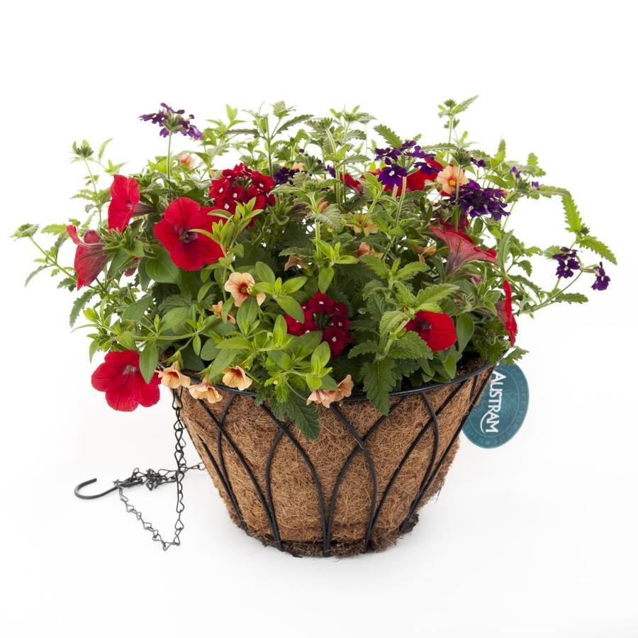 Lotus Calypso Black Wrought Iron Hanging Basket Kit