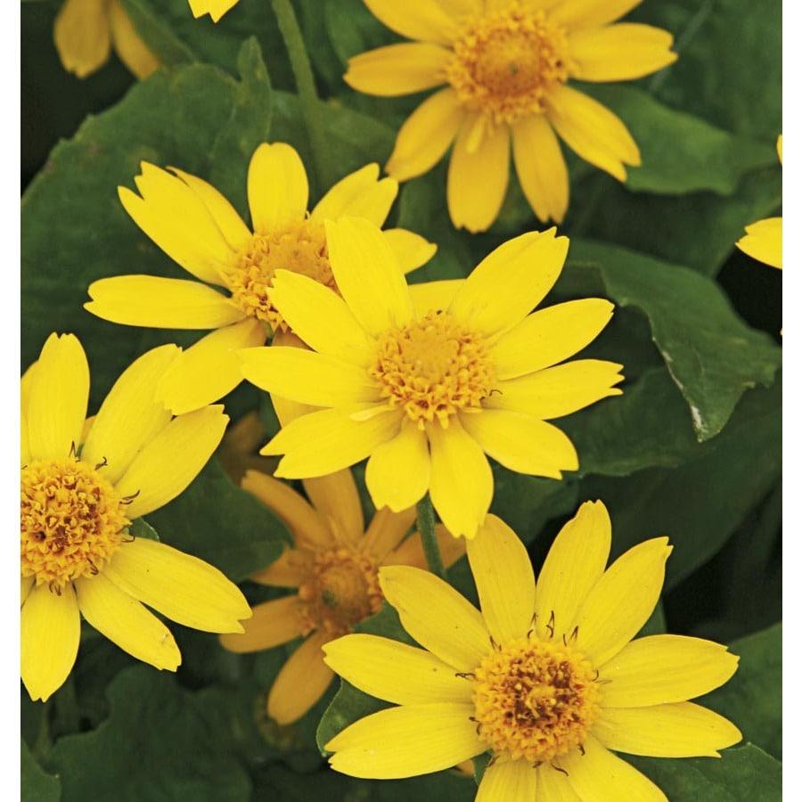1.25-Quart Butter Daisy (L9167)