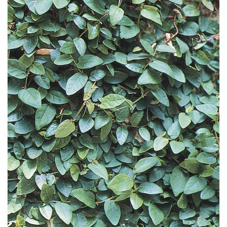 6-Pack Creeping Fig (L10844)