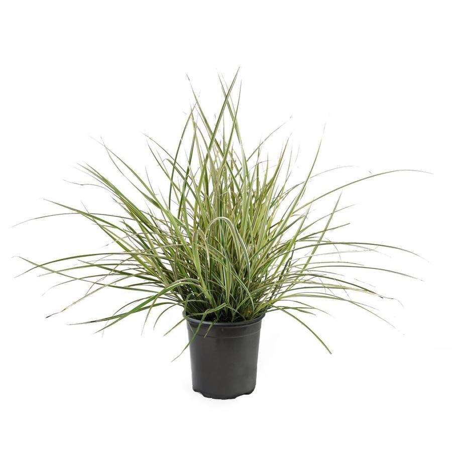2.5-Quart Variegated Oat Grass (L5019)