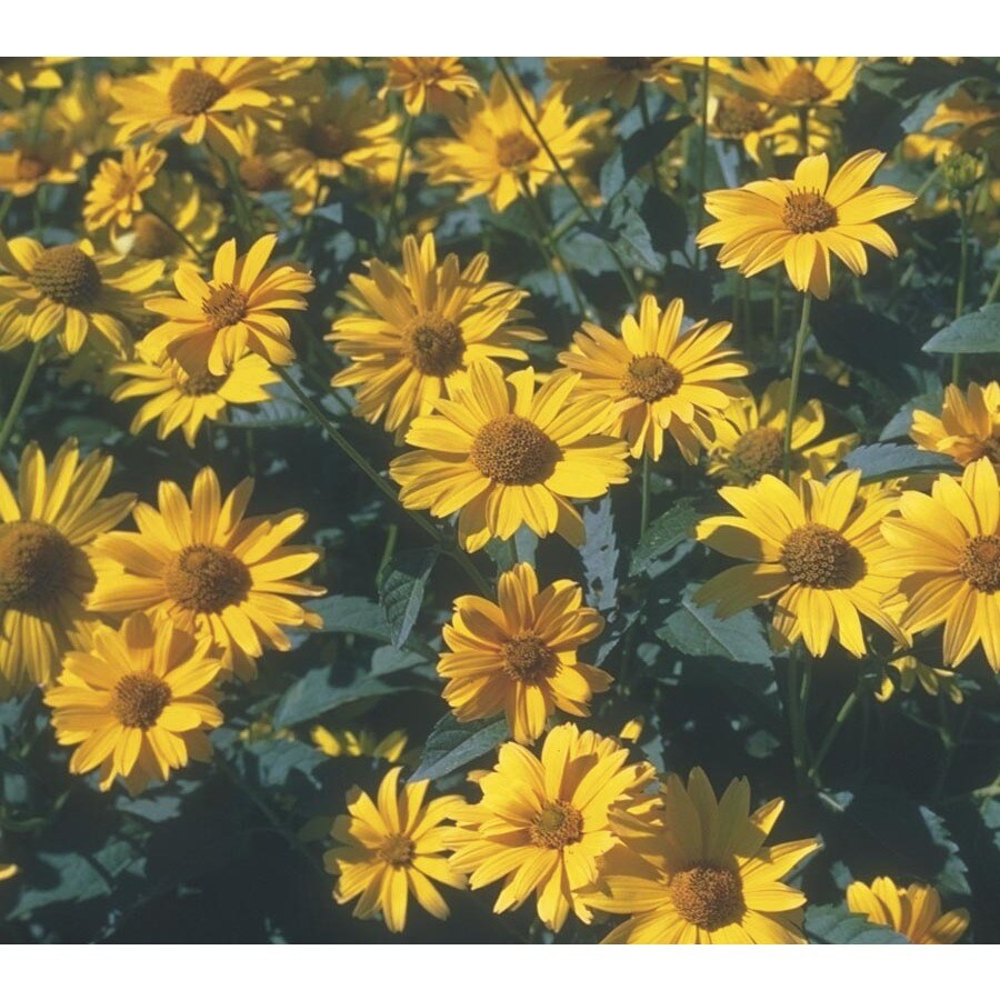 2.25-Gallon Summer Sun Sundrops (L7364)