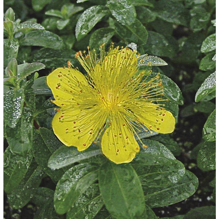 2.25-Gallon Creeping St. Johnswort (L6967)