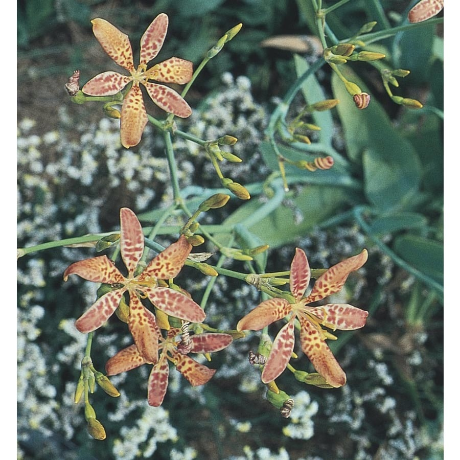 2.25-Gallon Candy Lily (L5049)