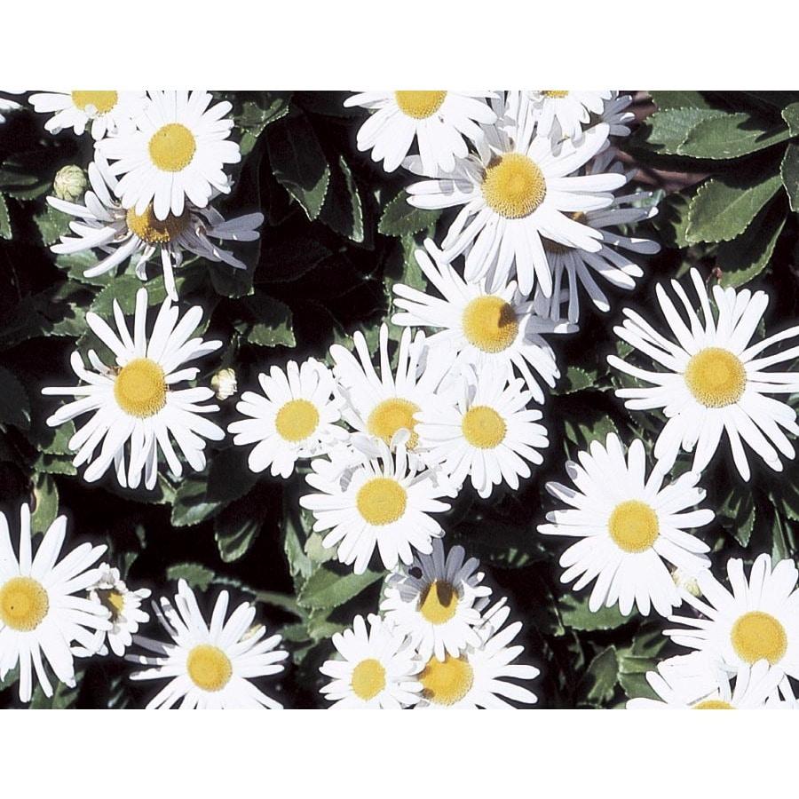 1-Gallon Montauk Daisy (L9638)