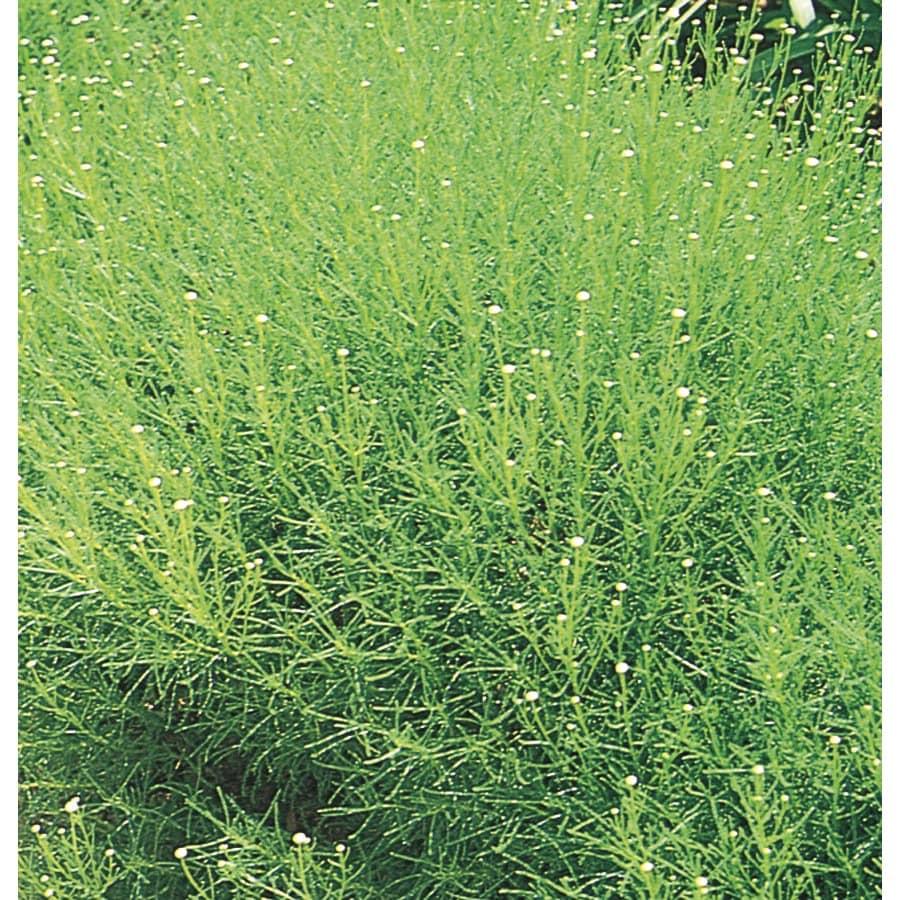 1-Gallon Yellow Green Lavender Cotton Accent Shrub (L3745)