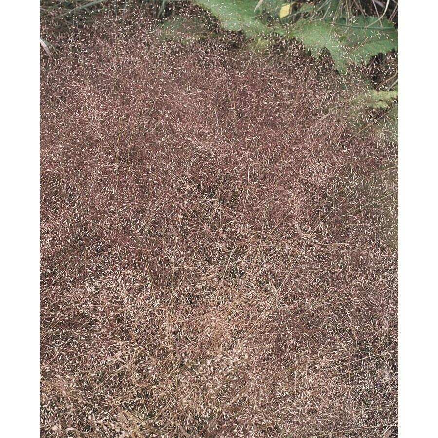 2.5-Quart Purple Love Grass (L15517)