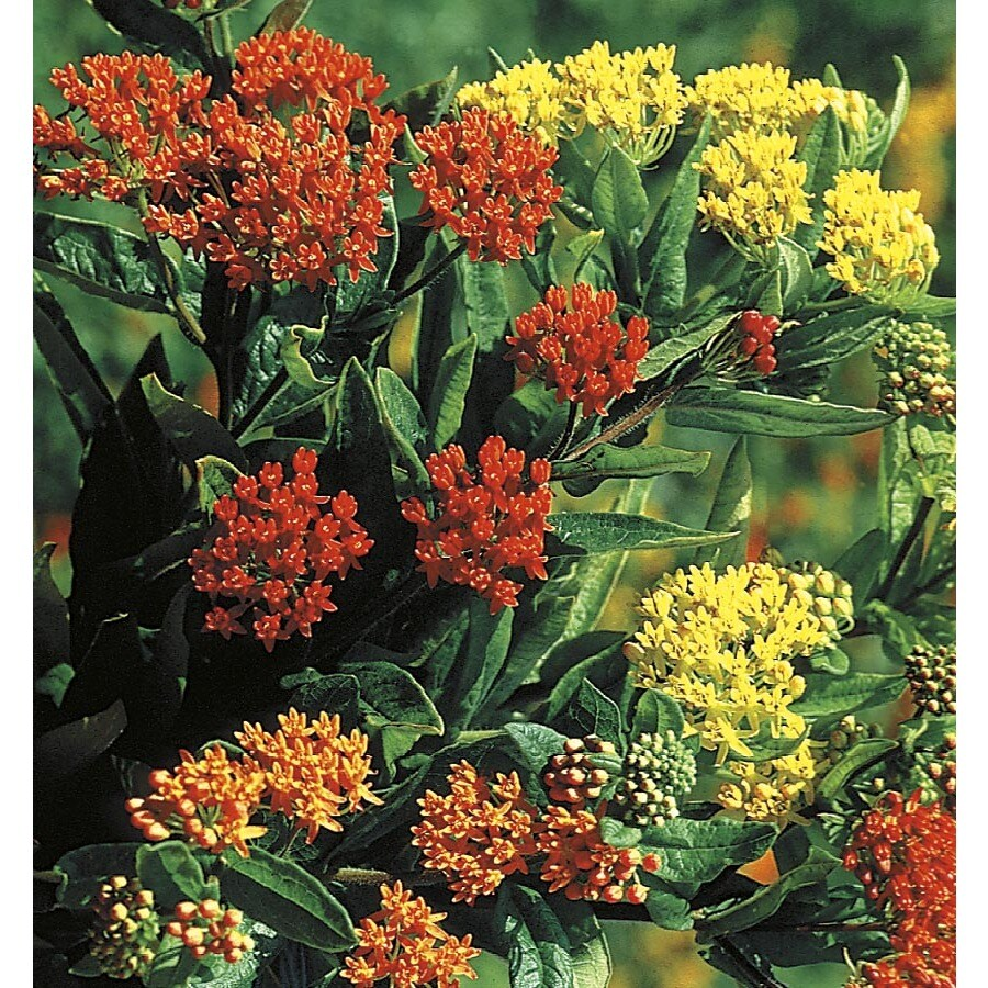 1.5-Gallon Butterfly Weed (L5647)