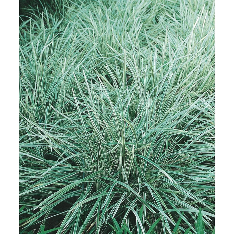 1-Quart Aztec Grass (L14234)