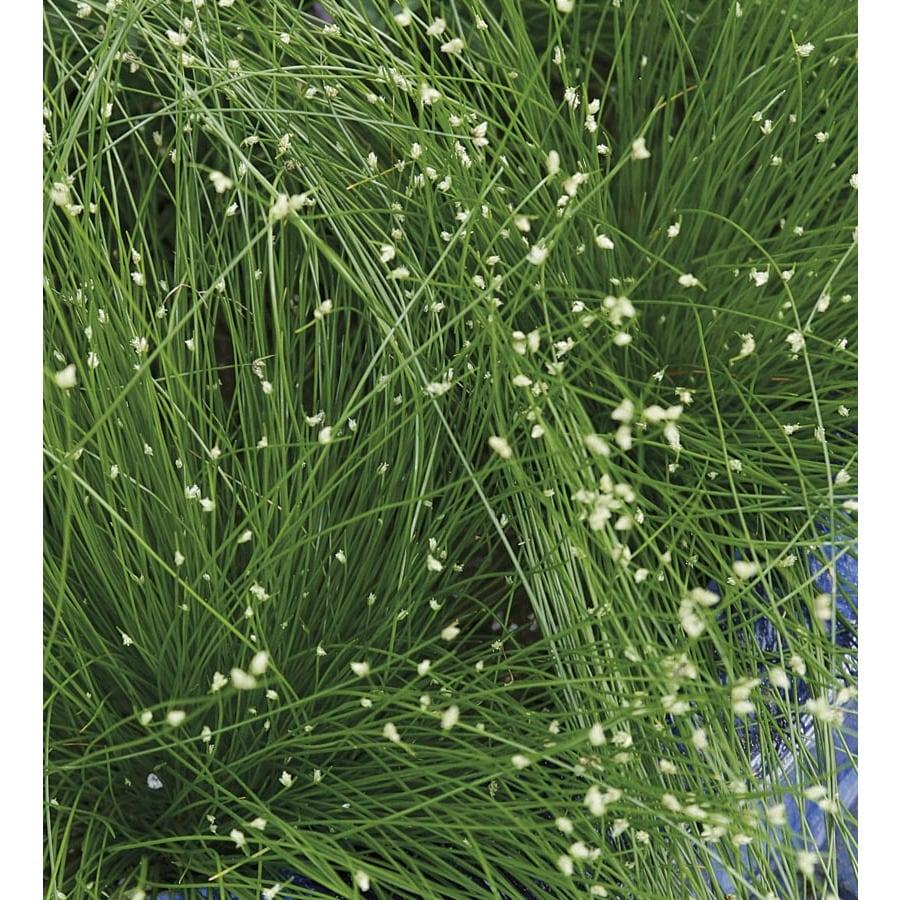 1.5-Gallon Fiberoptic Grass (LW03159)
