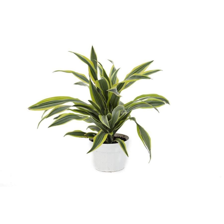 13-oz Warneckii Dracaena (L4333HP)