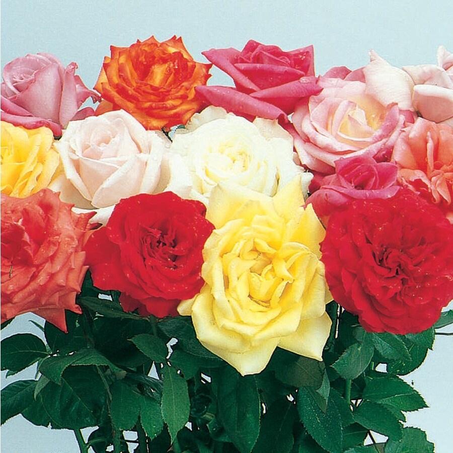 1.25-Quart Miniature Rose (L5965)