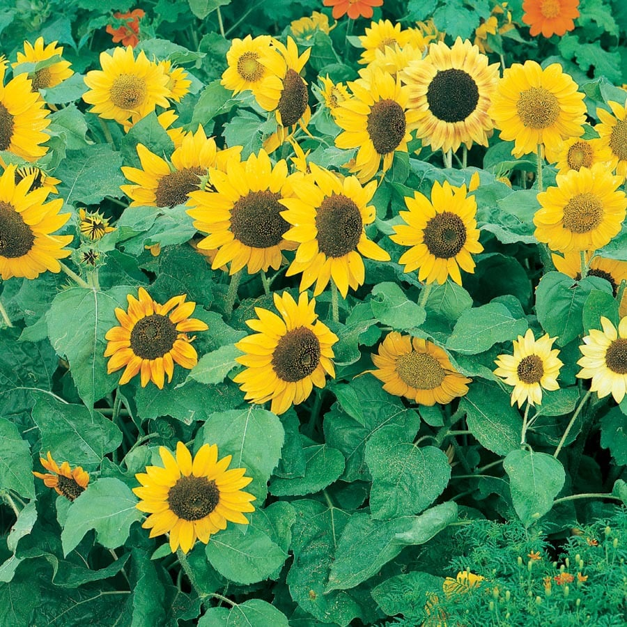 1.25-Quart Sunflower (L11281)